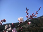 三ツ口池の梅