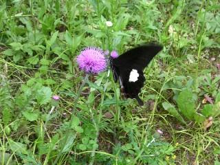 クロアゲハ蝶とアザミ