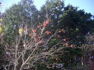 三ツ口池 柿の木