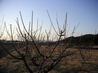 三ツ口池西側 梅の木