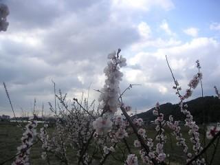 三ツ口池東側に咲く梅