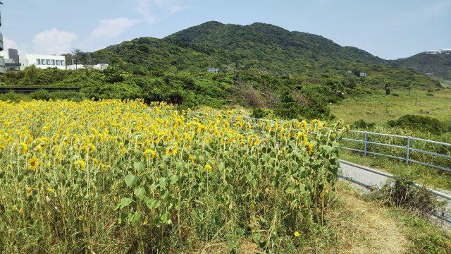 伊良湖岬 ひまわり